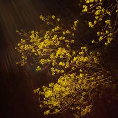 Квіт клену