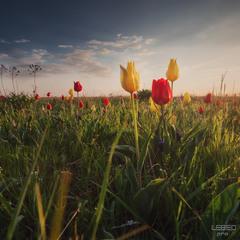 Весна с полевыми тюльпанами