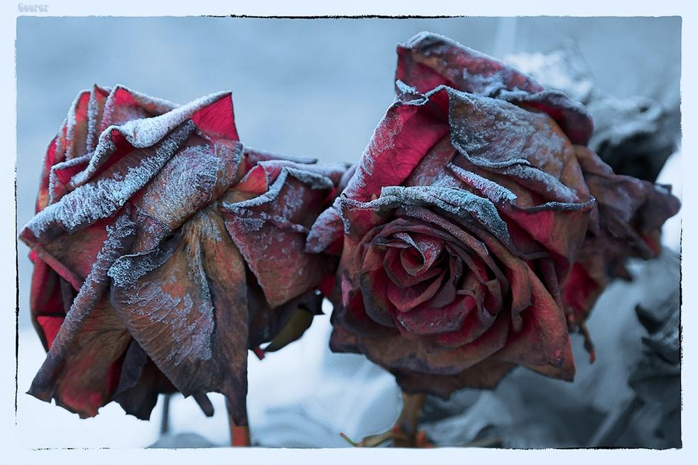 протест опавшие розы фото должности