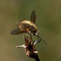 Жужжала — муха из юрского периода
