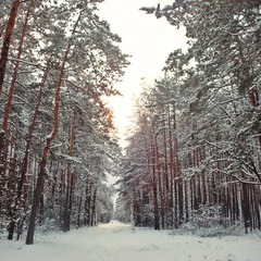 Сосновый коридор