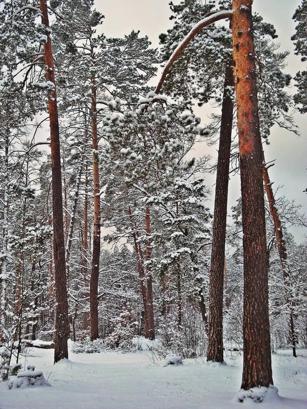 шатуре сосны фото зима очень