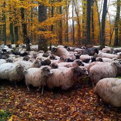 Овц..сень