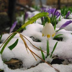 Роняя слёзы с лепестков, весне поклон подснежник шлёт...