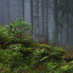 Charming pine forest in the Carpathians ..