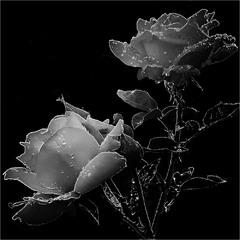 """Розы. Из серии """"Рисунки на квадрате Малевича"""""""