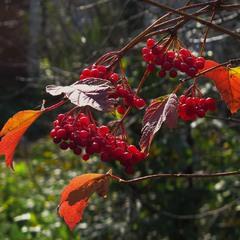 Червонное золото осени