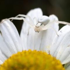 Misumena (цветочный паук хамелеон)