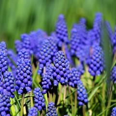 blue-eyed hyacinths