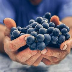Врожай винограду