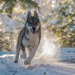 ...my dog. West Siberian Laika...