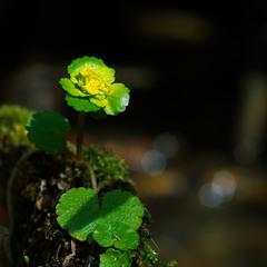 Chrysosplenium alternifolium - жовтяниця черговолиста...