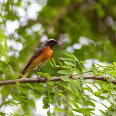Горихвістка звичайна, самець (Phoenicurus phoenicurus)