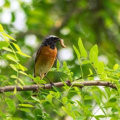 ...Горихвістка звичайна (самець) - Сommon redstart (Phoenicurus phoenicurus)...