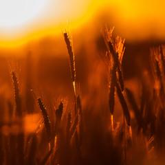 ...жито...