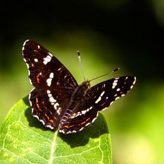 ...Сонцевик змінний (Araschnia levana)...