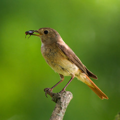 ...самка звичайної горихвістки (Phoenicurus phoenicurus)...