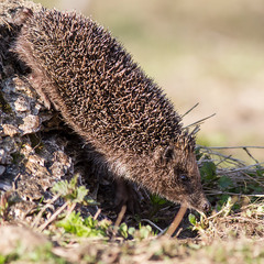 Їжак виходить на полювання із  свого природнього сховища - трухлявого пня