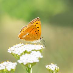 Дукачик обочень (Lycaena virgaureae) — вид денних метеликів родини Синявцеві (Lycaenidae)