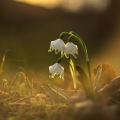 ...білоцвіт весняний (Leucojum vernum)...