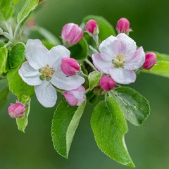 ...весняна мить...яблуневого цвіту...