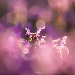 Глуха́ кропива́ пурпуро́ва (Lamium purpureum)