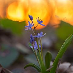 ...Проліска дволиста (Scilla bifolia L)...