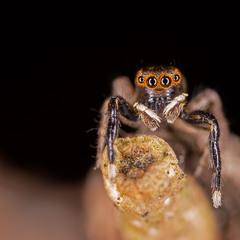 ...павук-скакун...