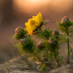Горицвіт весняний (Adonis vernalis)