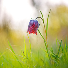 Ря́бчик ша́ховий (Fritillaria meleagris L.)