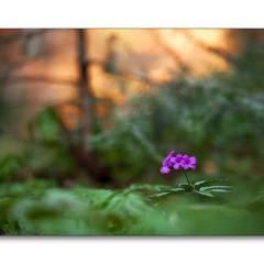 весняний вечір в лісах Бескид