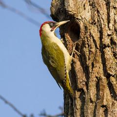 Дятел зелений(самець) - European green woodpecker (Picus viridis)