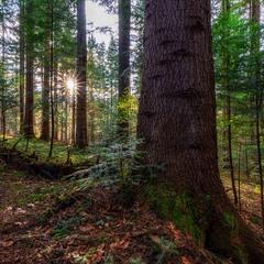 ...лісова весна...