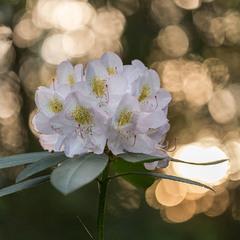 ...коли цвіли рододендрони...