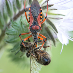 Ринокорис червоний (Rhynocoris iracundus) із жертвою
