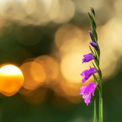 Коса́рики черепи́часті (Gladiolus imbricatus)