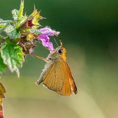 Головчак лісовий (Thymelicus sylvestris) — вид денних метеликів родини Головчаки (Hesperiidae).