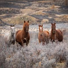 Алтайские лошадки