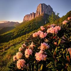 Рододендроны гор Кавказа
