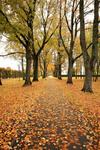 На ковре из жёлтых листьев ...