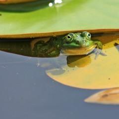 Допитлива жабка