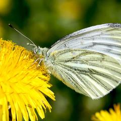 А бабочка крылышками бяк-бяк-бяк-бяк
