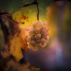 Виноградика ?