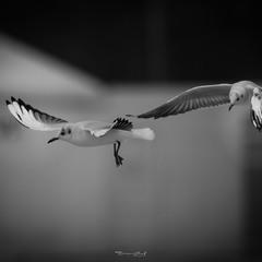 Seagull dynamic