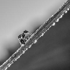 О муравье и росе