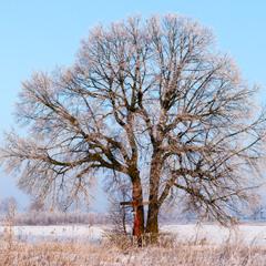 Дерево у морозний ранок
