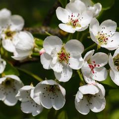 Груша цвіте