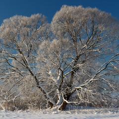 Дерево в зимовий ранок