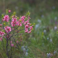 Цветет степной миндаль