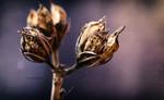 Насіння квітки